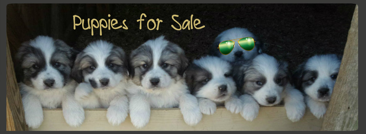 puppies for sale shades framed