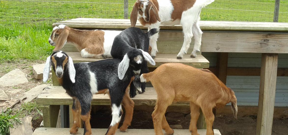 goatcarousel3