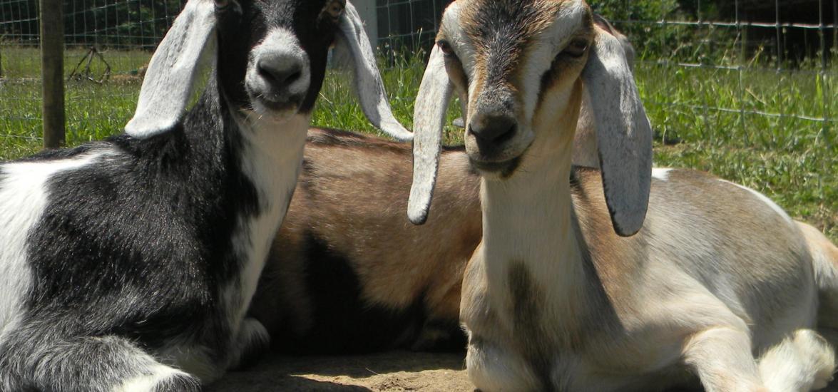 goatcarousel4